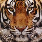 TigerGayPorn Avatar image