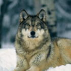 GreyWolf75 Avatar image